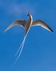 Red-billed Tropicbird side light by C.Fredrickson Photography