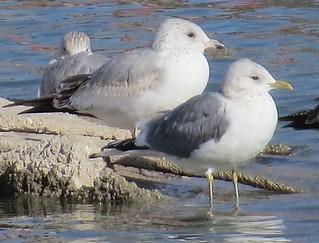 Mew Gull @ Lake Carlsbad (Upper Tansill Dam)