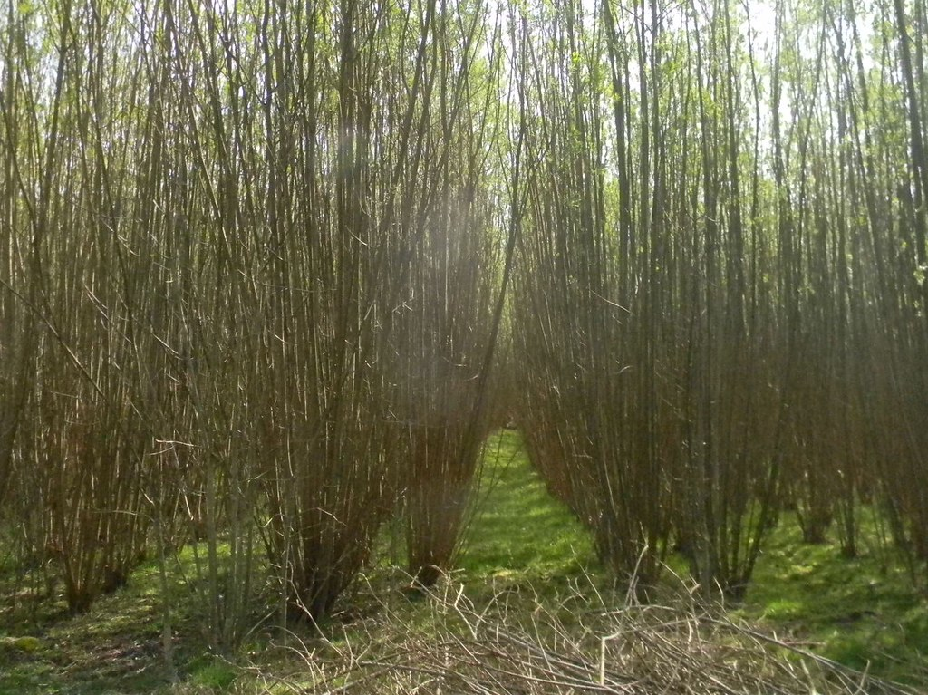 Willow plantation Haddenham to Aylesbury