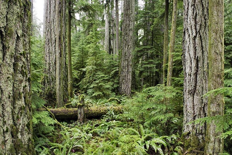 Cathedral Grove, MacMillan Provincial Park, Vancouver Island, British Columbia, Canada.