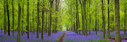 Bluebells in Dockey Wood, Hertfordshire, UK | The Flowering English Countryside (13 of 30) | by ukgardenphotos