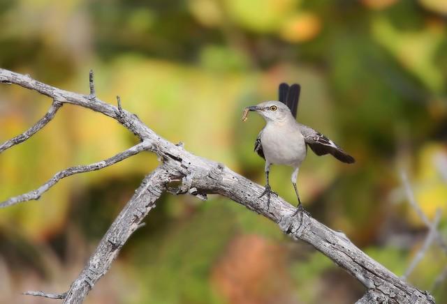 moqueur polyglotte / northern mockingbird