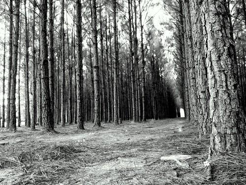 trees blackandwhite bw monochrome pine forest pines infrared bandw blacknwhite galaxys7