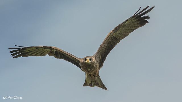 Steppe Eagle Spots My Cavier ...