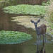 Flickr photo 'Mule Deer, Odocoileus hemionus (Rafinesque, 1817)' by: Misenus1.