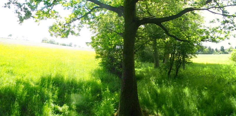 Tree, hedge, and buttercups Wickford to Battlesbridge