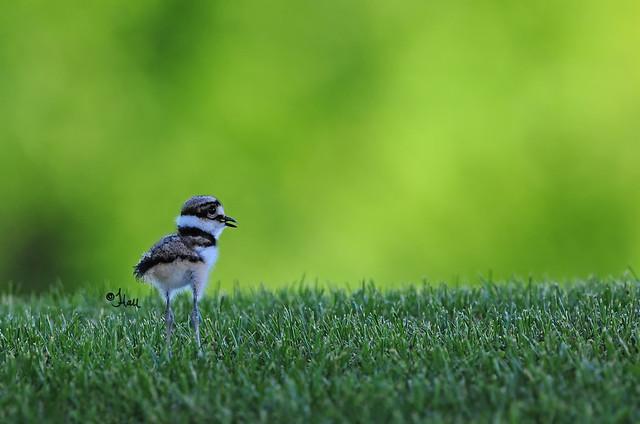 Killdeer Chick - 9878b+