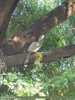 Indian Grey Hornbill (Ocyceros birostris)