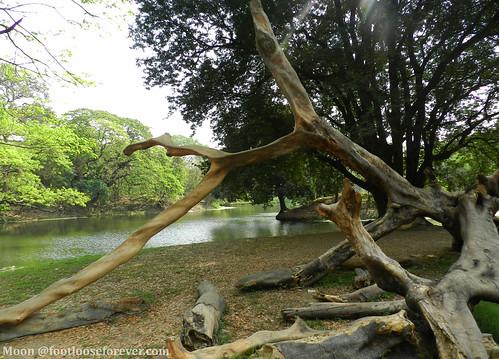 dread tree trunks - Shibpur Botanical Garden, #Kolkata | by moon@footlooseforever.com