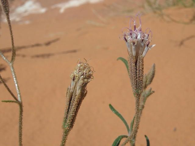 Spanish needles, Palafoxia arida var. arida