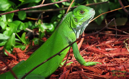 Iguana | by Thanks for over 2 million views!!