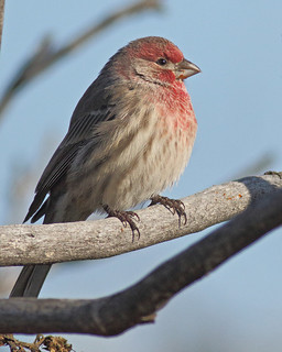 House Finch (male) | by Keith Carlson