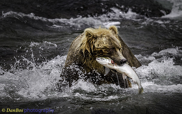 Bear with its prey