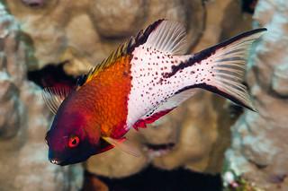 Lyretail Hogfish - Bodianus anthioides