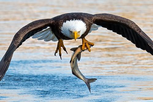 American Bald Eagle | by Brian E Kushner