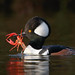 Hooded Merganser with crayfish by Steve Zamek