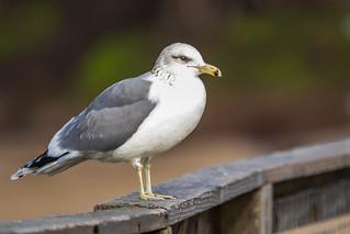 California Gull   by Allan Hack