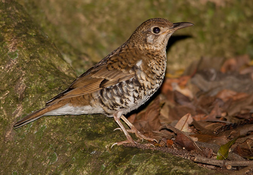 Bassian thrush (Zoothera lunulata)-7616 | by rawshorty