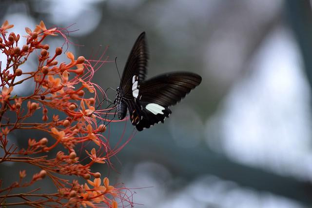 Blue Helen Butterfly (Papilio prexaspes)