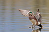 American Wigeon landing by rickdunlap2