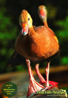 Face to Face with a Black Bellied Whistling Duck. | by QuakerVille