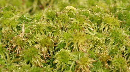 Sphagnum fallax dense carpet on the bogged birch forest floor