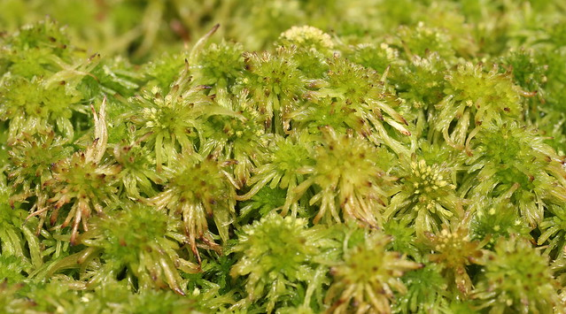 Sphagnum fallax dense carpet on the bogged birch forest floor