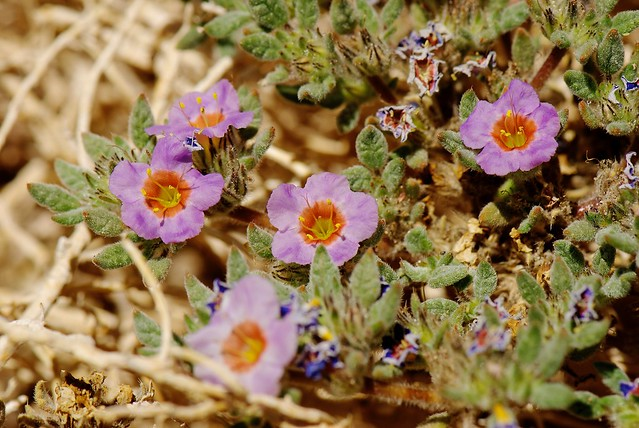 Flor del Altiplano. Tiquilia atacamensis. Ayquina. Antofagasta. Chile.