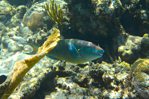 Parrot Fish Snorkel Grand Cayman | by Acquarius Sea Tours