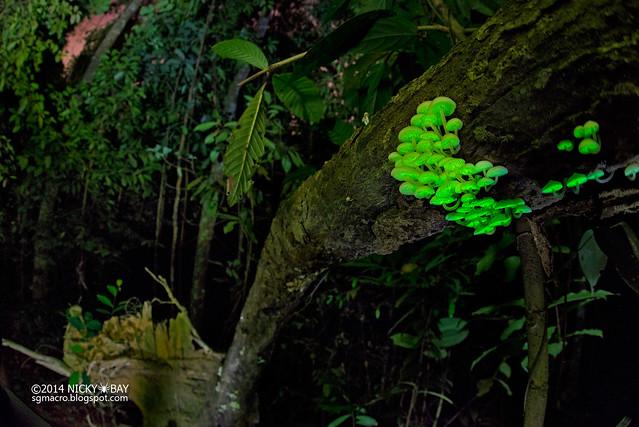 Bioluminescent fungi (Filoboletus manipularis) - DSC_1360