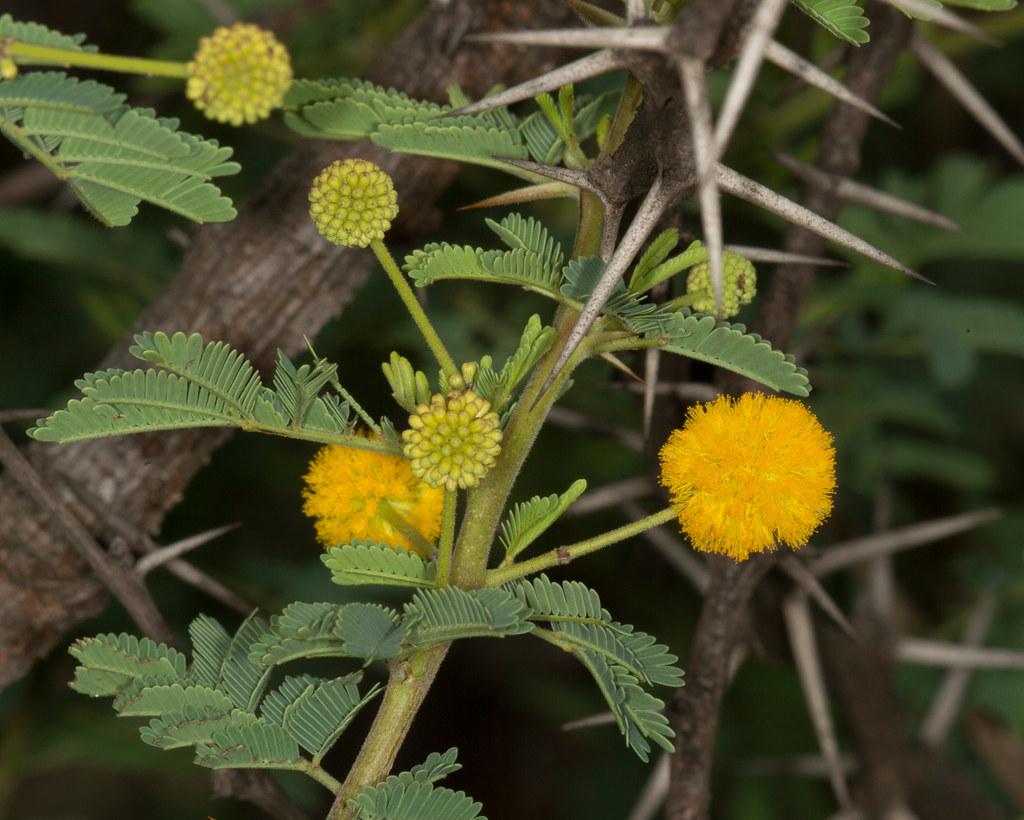 Acacia Karroo Vachellia Karroo Turk Mine Bulawayo Zimb Flickr