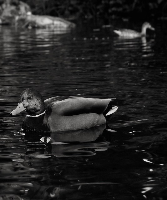 327/365 Water a Off A Duck's Back