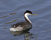 Western Grebe (Aechmophorus occidentalis) by JFPescatore