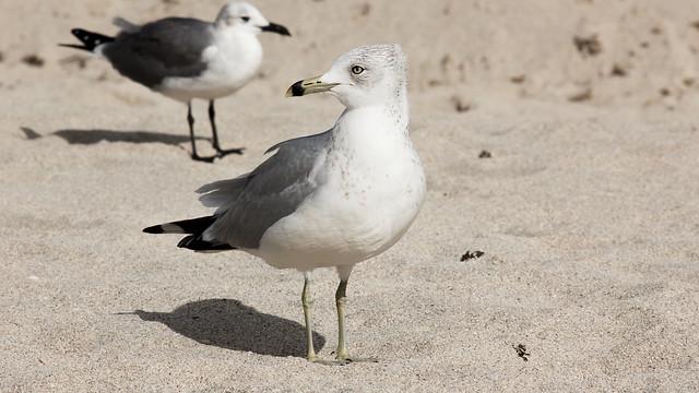 tough gull
