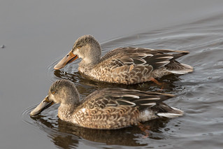 Shovelers-9106 | by Guideon72
