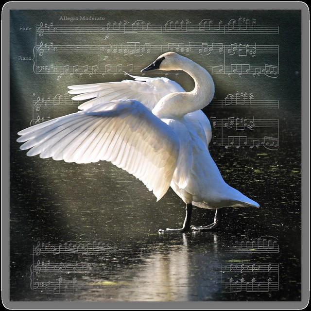 dance of the little swans . . .