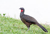 Dusky-legged Guan / Penelope obscura by peter.lindenburg