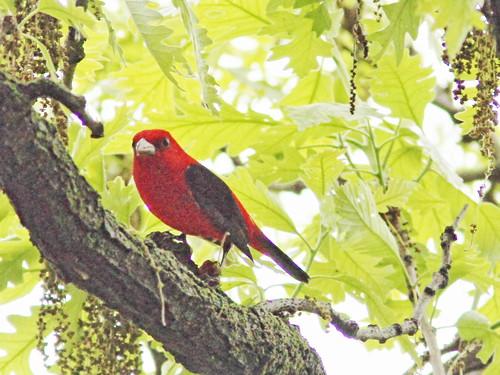 Scarlet Tanager 02-20160512