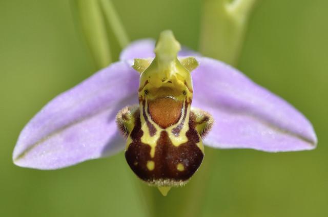 Ophrys abeille-Cissé-23.05.16-46