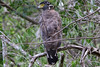 Crested Serpent-Eagle (Spilornis cheela) by Ardeola