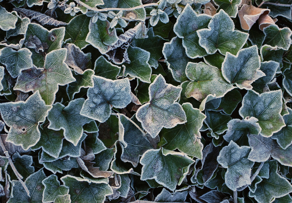 Frosty English Ivy
