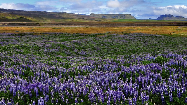 Lupins on Iceland