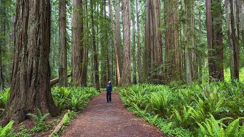 trees green nature landscape stoutgrove californis redwoodsnp