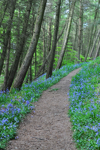 bluebell path | by Rising Damp