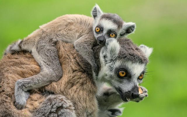 Lazy Lemur ...