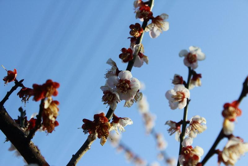 高松山へ向かう 梅の花