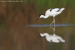 Pied Avocet | by EugeneLimPhotography.com