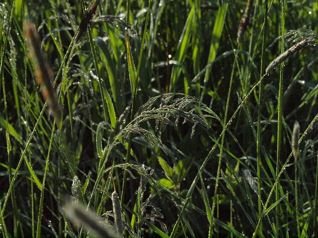 Gras und Frühtau