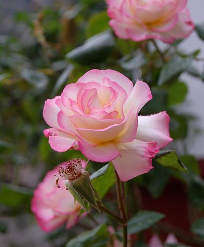 Kreta - Crete - Blumen - flowers