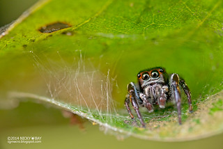 Jumping spider (Ptocasius sp.) - DSC_0254